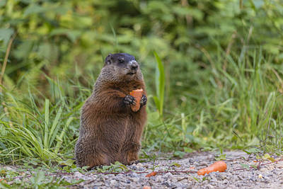 Photograph - The Carrot And The Beaver by Josef Pittner