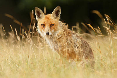 The Catcher In The Grass - Wild Red Fox Art Print by Roeselien Raimond