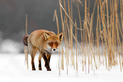 The Catcher In The Reed - Red Fox Walking On Ice Art Print by Roeselien Raimond