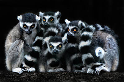 Lemur Catta Photograph - The Catta Gang by Joachim G Pinkawa