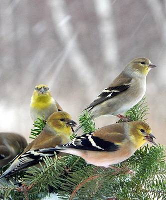 The Charm Of Finches Print by Karen Cook