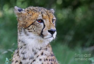 Photograph - The Cheetah, Africa Wildlife by Wibke W