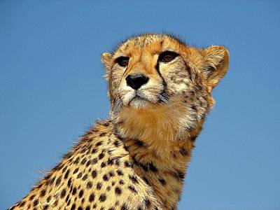 Photograph - The Cheetah by Diane Height