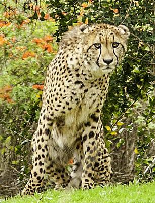 The Cheetah Stare Art Print by Lynn Andrews