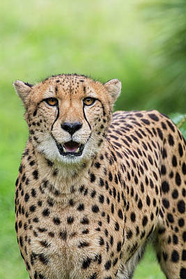 Photograph - The Cheetah Stare  by Saija Lehtonen