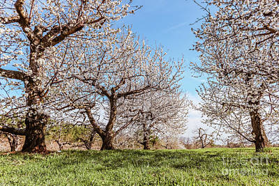 Photograph - The Cherry Tree Plantation by Claudia M Photography