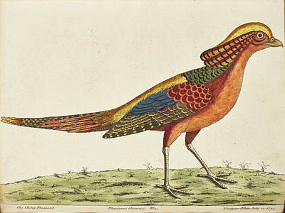 Pheasant Drawing - The China Pheasant by Eleazar Albin