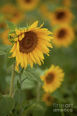 The Close Up Of Sunflowers Art Print