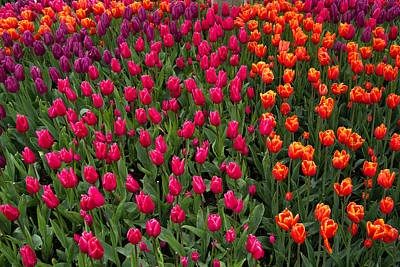 Photograph - The Colors Of Tulips by Roger Mullenhour
