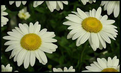 Photograph - The Common Daisy by James C Thomas