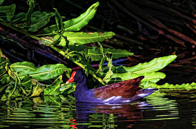 The Common Gallinule Art Print by HH Photography of Florida