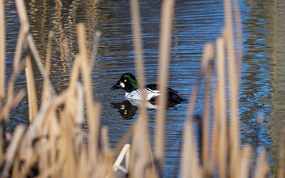 Photograph - The Common Goldeneye Male by Ismo Raisanen