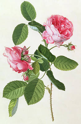 Pink Flower Drawing - The Common Provence Rose by Georg Dionysius Ehret