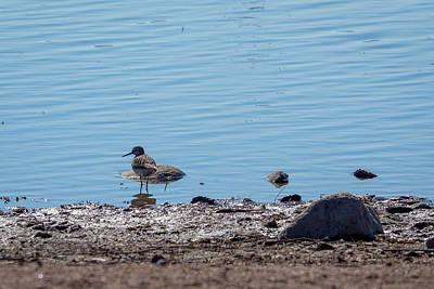 Photograph - The Common Sandpiper by Ismo Raisanen