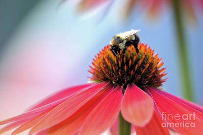 Photograph - The Coneflower Collection 3 by Victor K