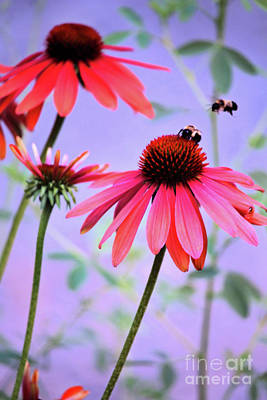 Photograph - The Coneflower Collection 4 by Victor K