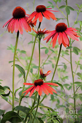 Photograph - The Coneflower Collection 5 by Victor K