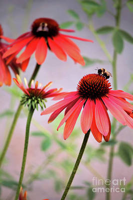Photograph - The Coneflower Collection by Victor K