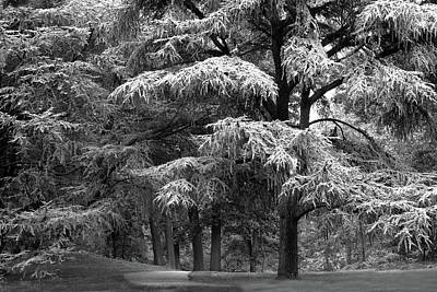 Photograph - The Conifer Forest by Jessica Jenney