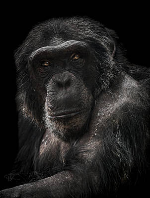 Chimpanzee Photograph - The Contender by Paul Neville