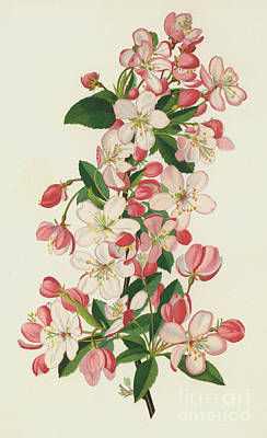 Malus Painting - The Copious Flowered Crab, Pyrus Malus Floribunda by English School