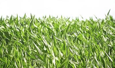 Cornfield Photograph - The Corn Field by Martin Newman