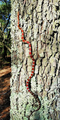 Corn Snake Photograph - The Corn Snake by JC Findley