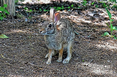 Photograph - The Cottontail Rabbit by Ray Shrewsberry