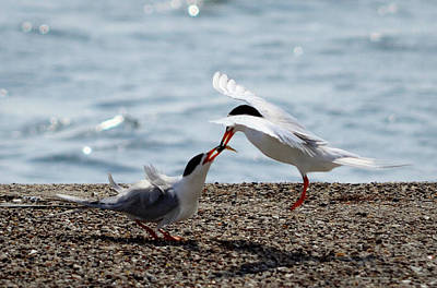 Photograph - The Courtship Feeding - Series 2 Of 3 by Debra Martz
