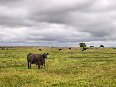 Photograph -  The Cows Of Ottenby by Jouko Lehto