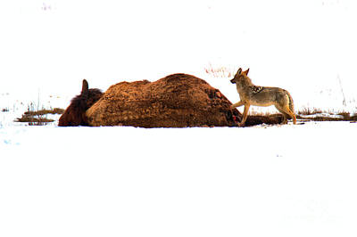 Photograph - The Coyote And The Carcass by Adam Jewell