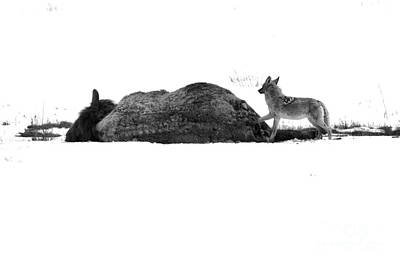 Photograph - The Coyote And The Carcass Black And White by Adam Jewell
