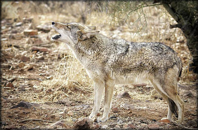 Photograph - The Coyote Howl by Elaine Malott