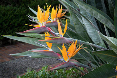 Photograph - The Crane Flower - Bird Of Paradise  by Gene Parks