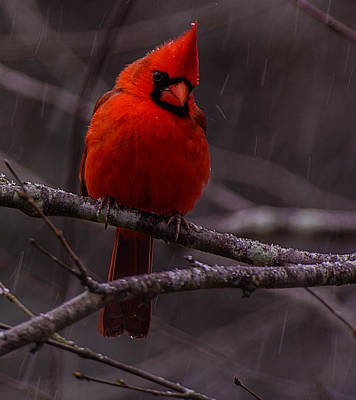 Photograph - The Curious Cardinal  by John Harding