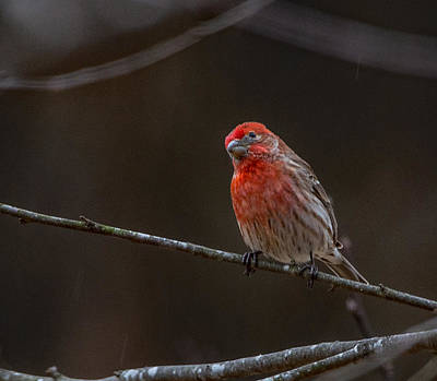 Photograph - The Curious House Finch  by John Harding