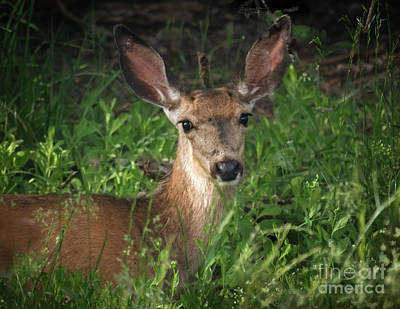 Mule Deer Fawn Photograph - The Curious Look   by Robert Bales