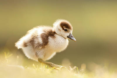 Bird Photograph - The Cute Factor - Egyptean Gosling by Roeselien Raimond