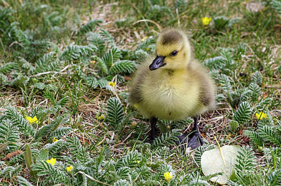 Photograph - The Cutest Gosling by Dee Cresswell