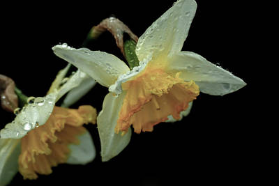 Photograph - The Daffodil by Devon LeBoutillier