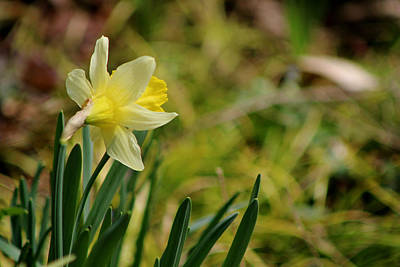 Photograph - The Daffodil by Living Color Photography Lorraine Lynch