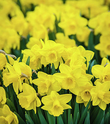 Photograph - The Daffodil Patch by Bill Pevlor