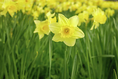 Photograph - The Daffodils by Alan Campbell