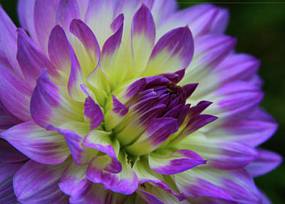 Photograph - 695 Dahlia by Kevin Schwalbe