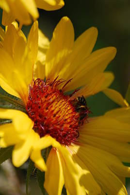 Photograph - The Daisy And The Bee by Ramona Whiteaker