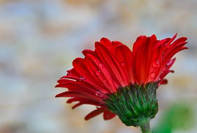 Photograph - The Daisy In Red by John Harding