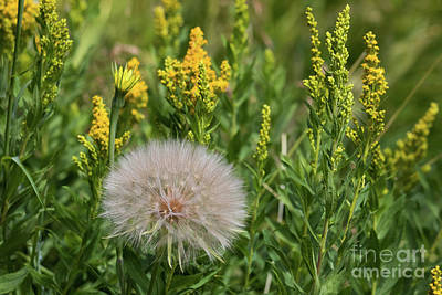 Photograph - The Dandelion  by Brandon Bonafede