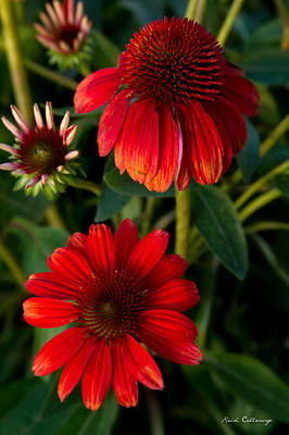 Photograph - The Destination Red Coneflowers by Reid Callaway
