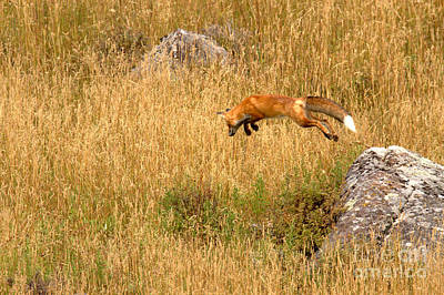 Photograph - The Dinner Leap by Adam Jewell