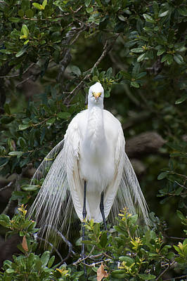 Great Egret Photograph - The Display And The Look by Benjamin DeHaven